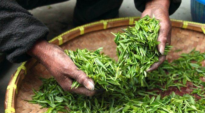 Die Wundermittel in Matcha und anderen grünen Tees: Wissenswertes über Catechine