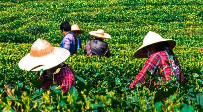 Japanischer Grüner Tee: Sorten und ihre Eigenheiten